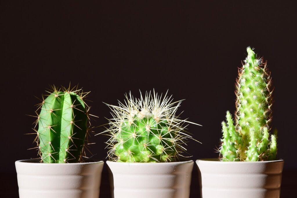 Houseplant cactus