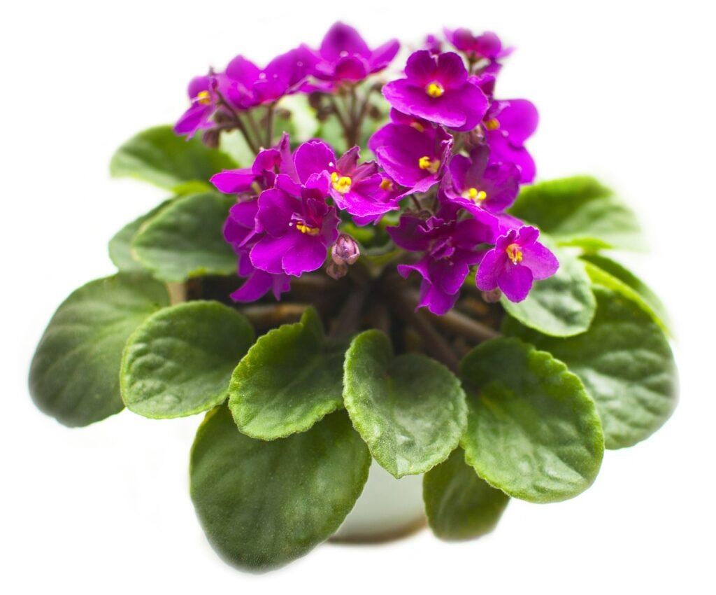 Houseplant violet